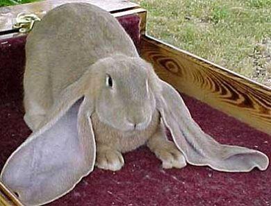 Вислоухий кролик. Порода баран